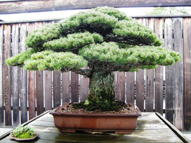 Old-Pinus-parviflora-japanese-white-pine-bonsai